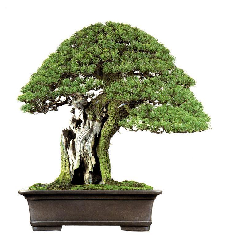 25 best ideas about pine bonsai on pinterest for Famous bonsai trees