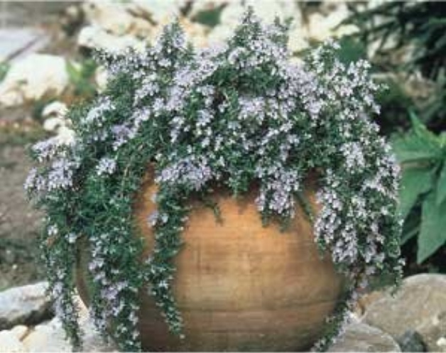 Creeping Rosemary Can Be Put In Planter Pot Patio