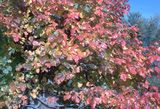 Leaves of 3, Leave It Be!: The autumn foliage of poison ivy plants ranges from yellow to orange to red.