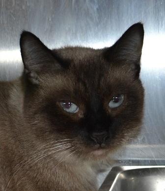 Bertha, Siamese, 1 year, Female  - Find me on pawschicago.org!