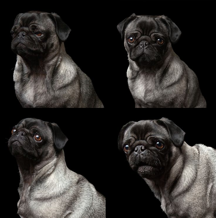 """""""I'm a Pug - that's why""""  Lola - Pug All images © www.thebeingproject.co.za"""
