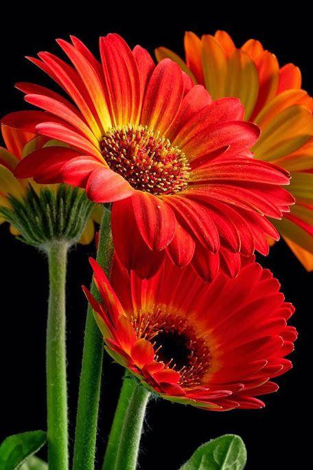 Gerberas- kiedyś ulubione kwiaty na dzień nauczyciela, wesela i wszelkie inne okazje :)