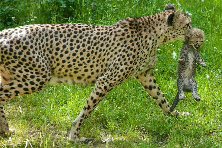 Young cheetahs in Zoopark Erfurt, Germany. Gepardin brought at 6 May six Healthy Katzenkinder to World