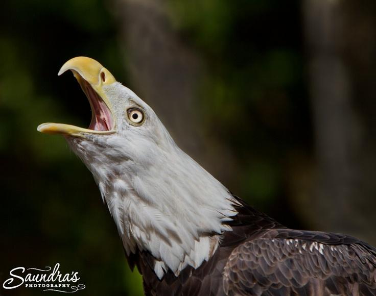 Eagle beak - photo#54