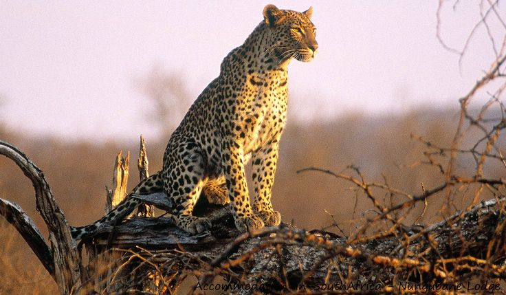 Game/Leopard at Nungubane Lodge. Accommodation in Vaalwater.