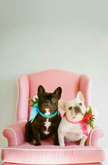 French bulldogs' wedding