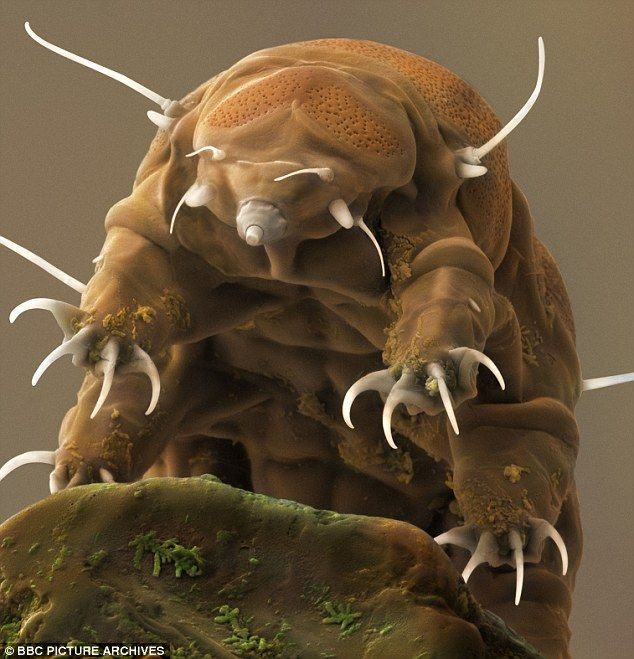 The water bear is one of the toughest creatures on Earth and is able to survive extreme environments