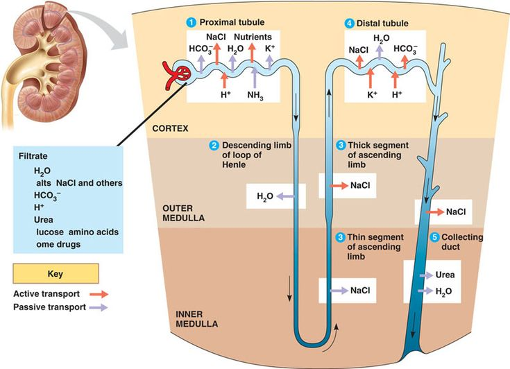 Nephron again.  Proximal tube: Recapture of WATER, IONS and NUTRIENTS    Descending loop of Henle: reabsorption of water.    Ascending loop of Henel: permeable to ions    Distal tubule: reabsorption of K+ and NaCl    Collecting duct: to the renal pelvis we go