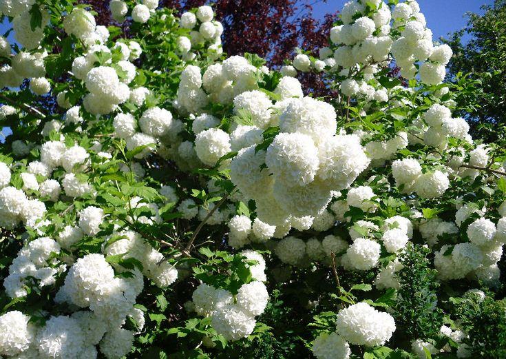 schneeball viburnum gef llter echter schneeball viburnum opulus roseum pinterest. Black Bedroom Furniture Sets. Home Design Ideas