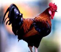 De ieri şi de azi: Cocoşii, găinile şi… românii