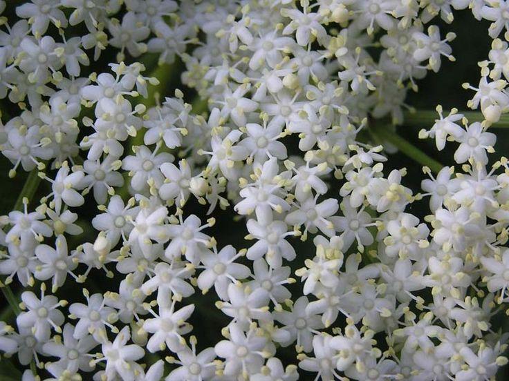 Černý bez je jednou z nejstarších rostlin na světě. Již tisíce let slouží lidstvu a cenil si jej zejména Hippokrates, který jím nahrazoval medikamenty.