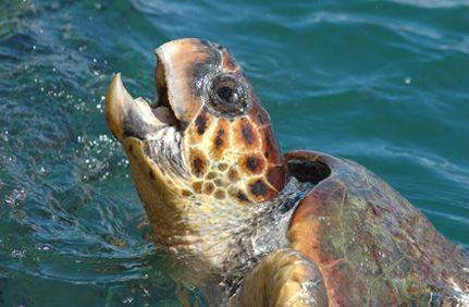 Careta-Careta Sea Turtes, Kefalonia, Greece