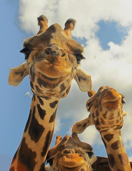 "Giraffe Selfie - ""Smile, Everybody!"""