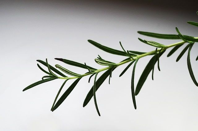 Rosemary is an evergreen shrub that normally grows in the Mediterranean region. It's a perennial plant which can now be found in almost any part of the world with a sunny and warm weather. The Latin name of the shrub is Rosmarinus officinalis. It has a distinctive look with long and spiky needles, sliver on the bottom side and green on the upper side. It also has small, bluish flowers. Rosemary can be added to your diet fresh, dried and as oil, it's beneficial in every form. The whole plant…
