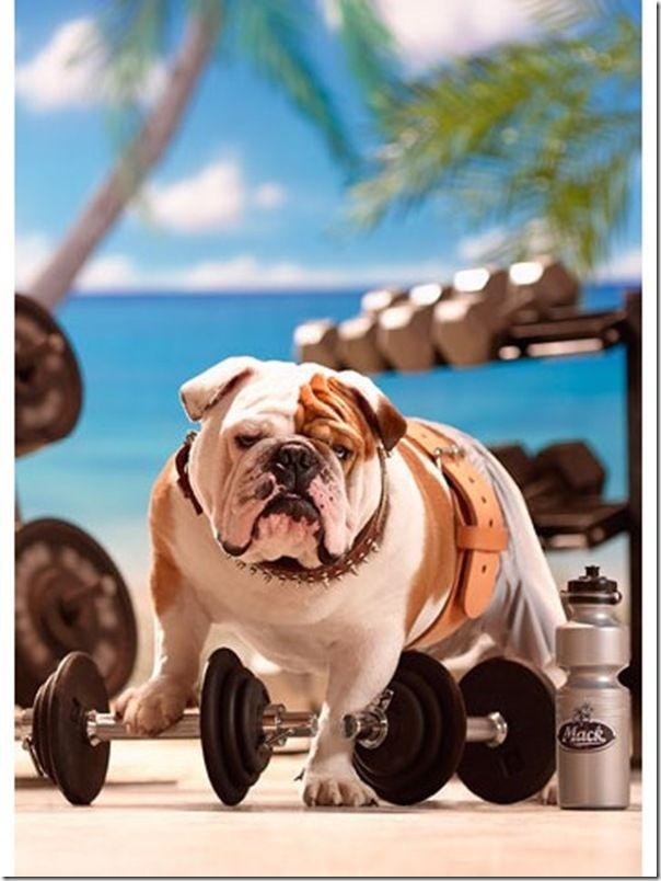 Best 25 Funny Bulldog Ideas On Pinterest English