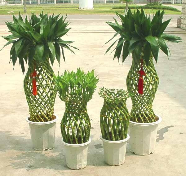 17 best images about lucky bamboo plants on pinterest, Gartengerate ideen