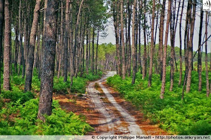 Massif forestier landais, aux abords du village Pissos (Aquitaine, Landes)