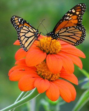 MEXICAN SUNFLOWER (TITHONIA)/ ATTRACTS: MONARCH BUTTERFLIES. IMPORTANT DURING MIGRATION.My eyes hurt from the stunning brightness! Plant in masses.