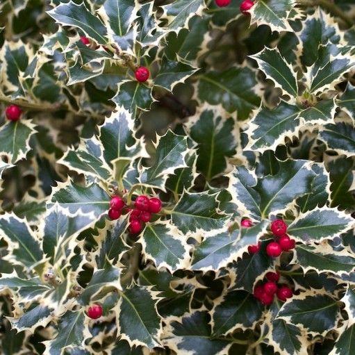 Un arbust cu adevarat festiv cu o combinatie superba de culori care se potrivesc perfect Sarbatorilor de Iarna.