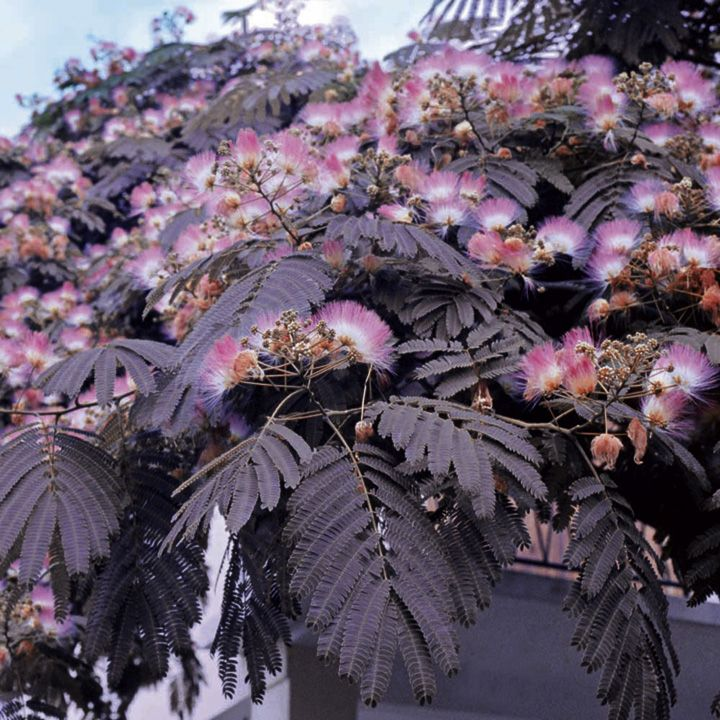 Silk Tree - Albizia julibrissin -  Summer Chocolate. Flowers, young leaves on the usual, green variety of silk tree are edible. Not sure about the chocolate variety, but it's such a lovely tree....