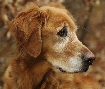 Dementia Symptoms In Old Dogs