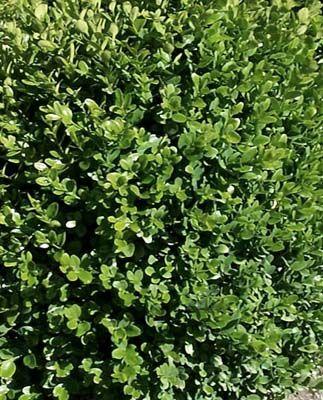 O di... Ombra: elenco piante sempreverdi (e foto) che tollerano l'ombra e crescono anche in sottobosco