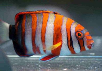 harlequin-tusk-marine-fish
