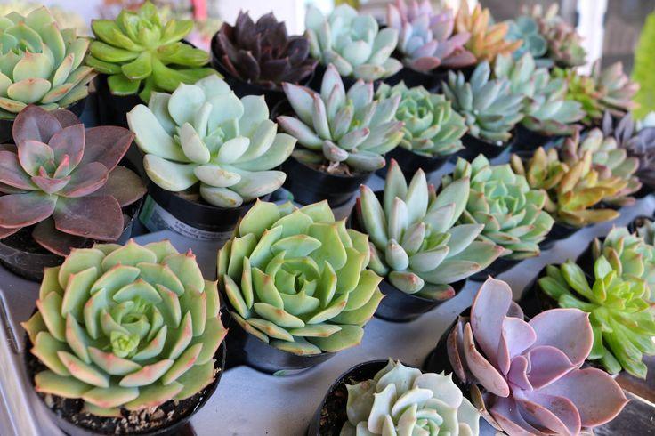 """2.5"""" Rosette Succulents bulk wholesale succulent prices at the succulent source - 9"""