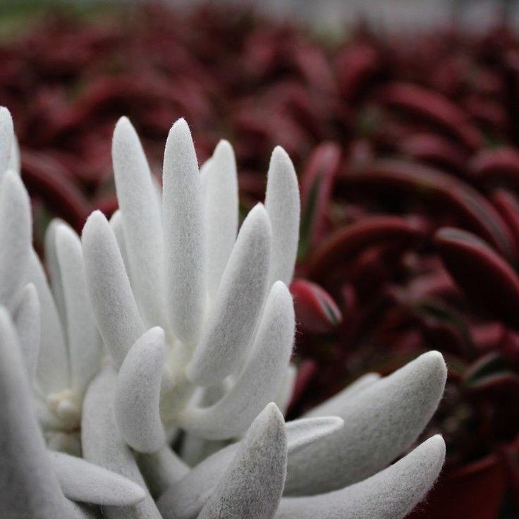Senecio haworthii - Blätter sehen wie Wildleder aus,  sind warm zu anfühlen | Garten & Terrasse, Pflanzen, Sämereien & Zwiebeln, Pflanzen, Bäume & Sträucher | eBay!
