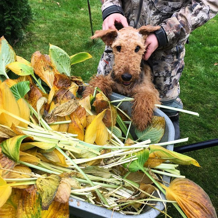 Managing all the autumn work. I am a good and clever dog! 🍃🍀🍂🍁🌾🐶🤓 #hi #judy #judythedog #heyjudy #airedale #airedalelove #airedaleterrier #dog #dogs #puppy #animal #animals #animalsofinstagram #dogsofinstagram #dogstagram #funny #russia #friend #bestfriend #собака #собаки #эрдель #эрдельтерьер #эрделька #джуди #щенок #природа #россия #друг #другчеловека