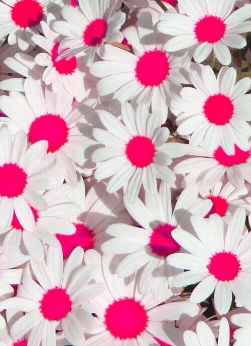pink daisy wallpaper Wallpapers Pinterest Happy