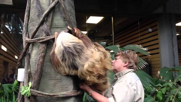 Sloth coming in for the night at the Como Zoo