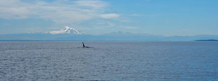 Aktivreise Vancouver Island, Kanada. Killerwale beim Kajak fahren...