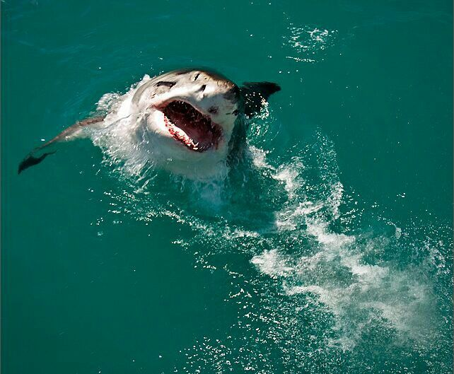 Best Shark Culling Images On Pinterest Sharks Western - Man fights great white shark sydney harbour jumping cliff