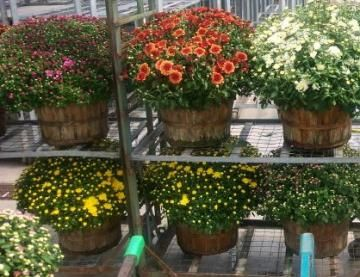When to plant mums | The Old Farmer's Almanac
