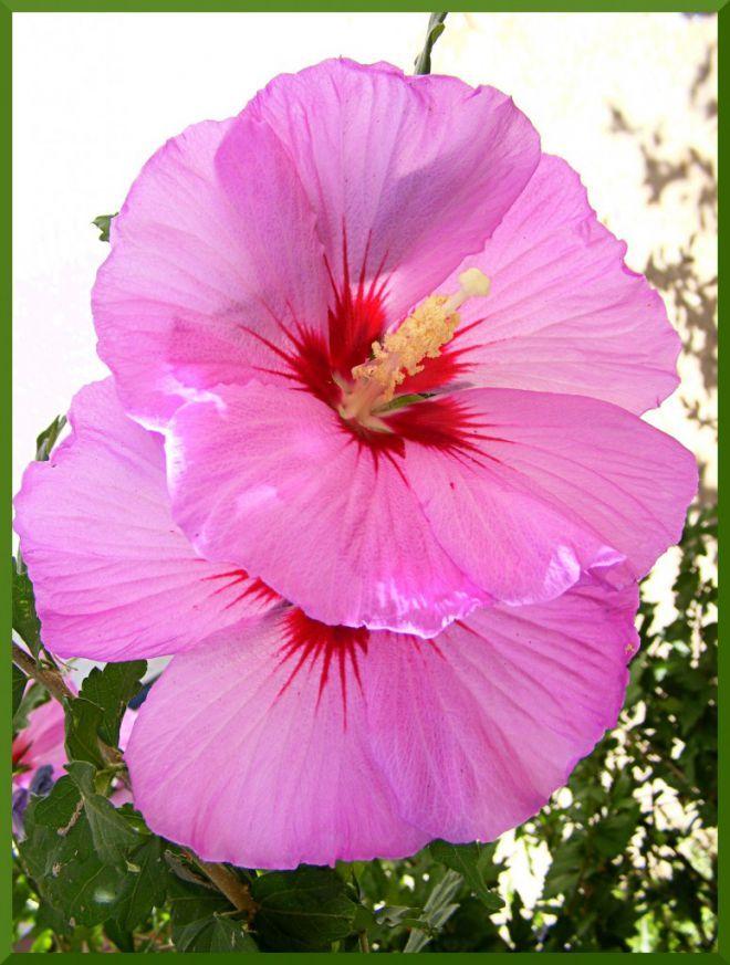 Дуэт ( цветы гибискуса) | Любим комнатные цветы, живую природу и не толь | цветы в доме | Постила