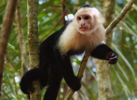 Capuchin Monkey, I will be getting one at some point in my life. Tooo awesome