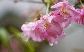 Обои цветы, розовые, сакура, вишня