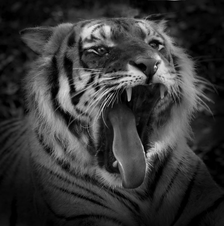 Tiger-  betty colombo 2015