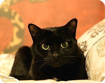 Toronto, ON - Domestic Shorthair. Meet Midnight, a cat for adoption. http://www.adoptapet.com/pet/12816355-toronto-ontario-cat