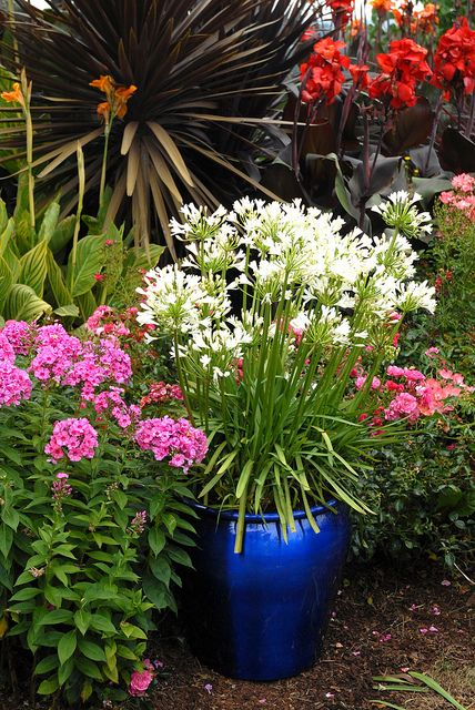 """Easy care Snow Storm™ agapanthus in cobalt blue container.  Also known as Snow Storm """"Lily of the Nile"""""""