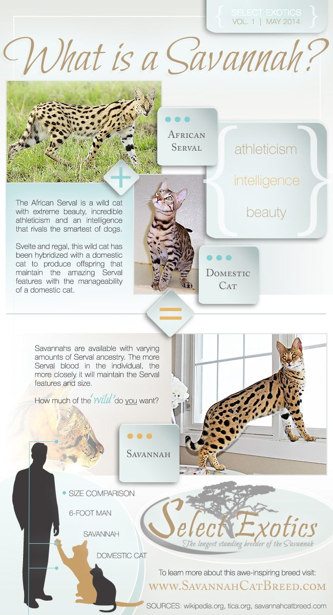 What is a Savannah cat? #savannahcats #infographic