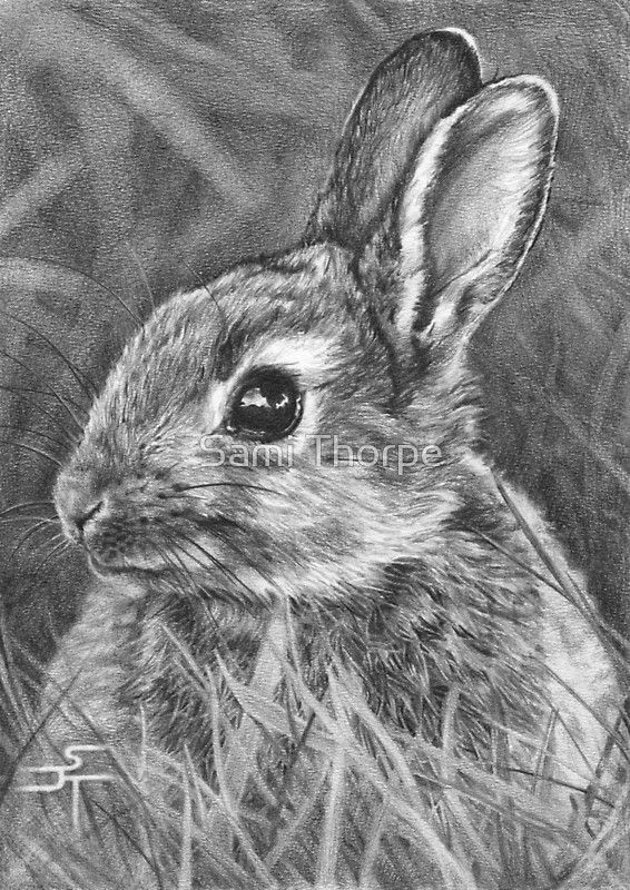 European Wild Rabbit / Drawn from an image suppled by www.ourwildlifephotography.com using a mixute of 2b – 5b pencils onto medium surface cartridge paper. • Buy this artwork on stationery and wall prints.