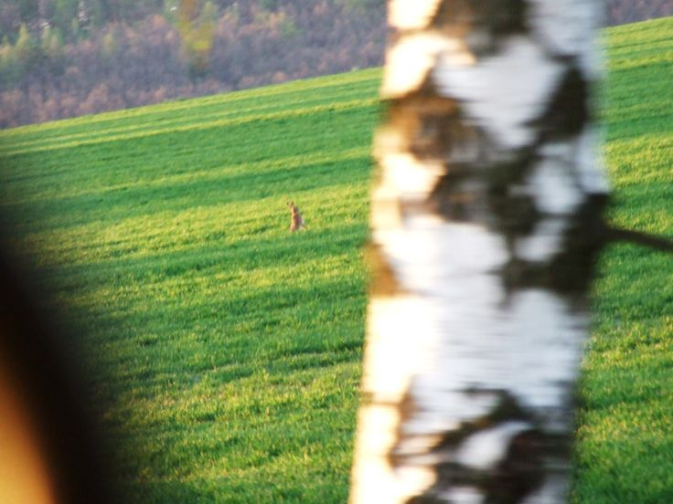Dancing hare in the fields.-)