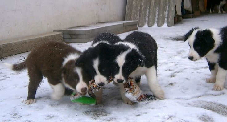 Puppies of Border Colie.