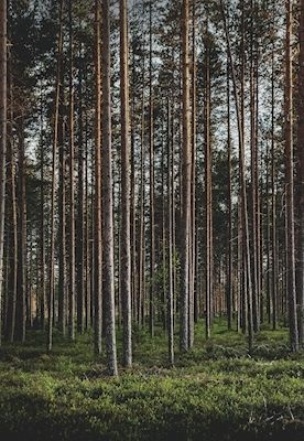 Straight lines in the forest during midnight sun in Skellefteå, Sweden. Available as poster at printler.com, the marketplace for photo art. Photographer @onlycimek
