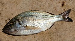 Havkaruss, Spondyliosoma cantharus. Opptil 60 cm, vanligvis 30 cm. Algespiser.