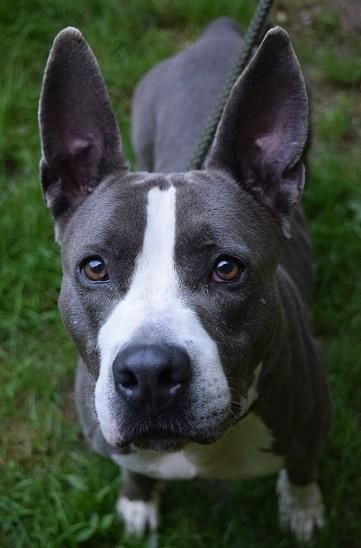 Mina is an adoptable Pit Bull Terrier searching for a forever family near Ozone Park, NY. Use Petfinder to find adoptable pets in your area.