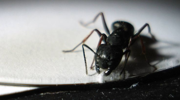 Mejores 12 imágenes de Ants en Pinterest | Hormigas, Insectos y ...
