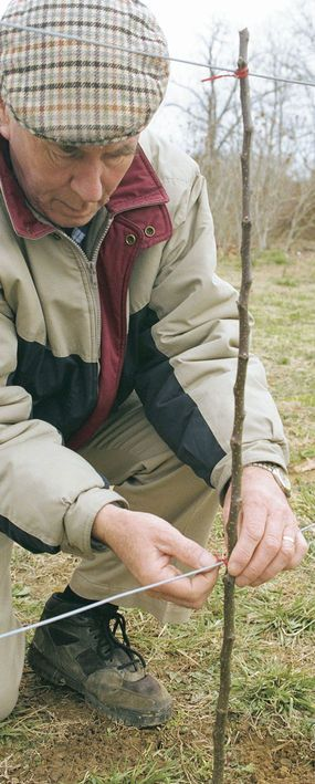 """BEST """"how to"""" for espalier trees. First tip: select a spur-bearing variety."""